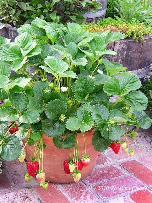 Erdbeeren anpflanzen - DIY Plantage