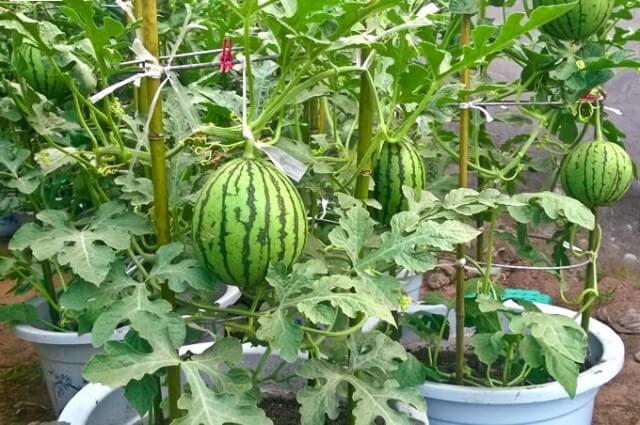 Mini Wassermelonen anpflanzen - Obstgarten selber machen