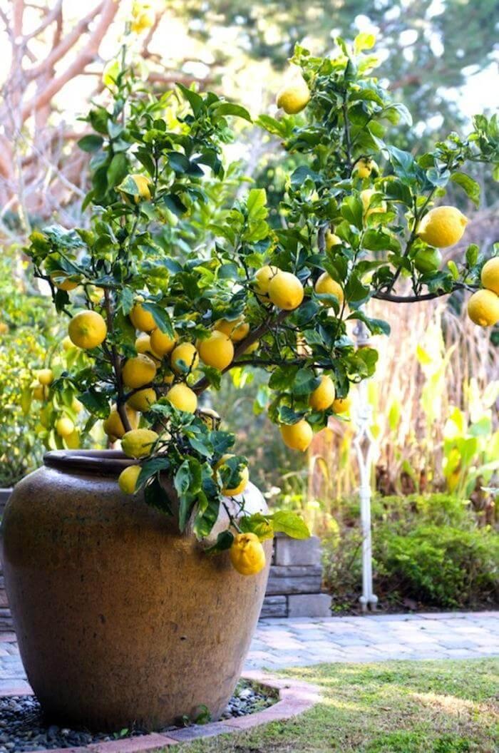 Zitronenbaum im Garten - DIY Gartenideen