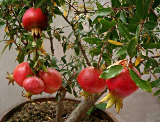 Granatapfel im eigenen Garten anpflanzen