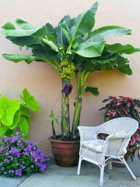 Mini Bananen im Garten - Leckeren Obst im Garten haben
