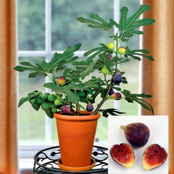 Feigen zu Hause anpflanzen - leckere Feigen