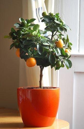 Clementine im Blumentopf - DIY Miniplantage
